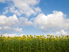 向日葵たちの背くらべ