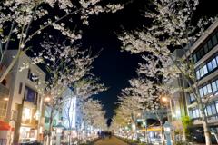 段葛の夜桜