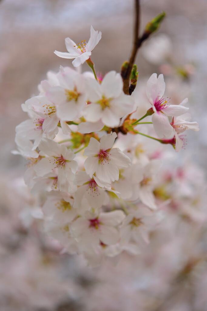 桜色に染まった