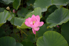 綺麗なピンク蓮