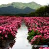 雨上がりの花畑