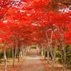 もみじ並木~赤色~