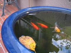 落葉と金魚
