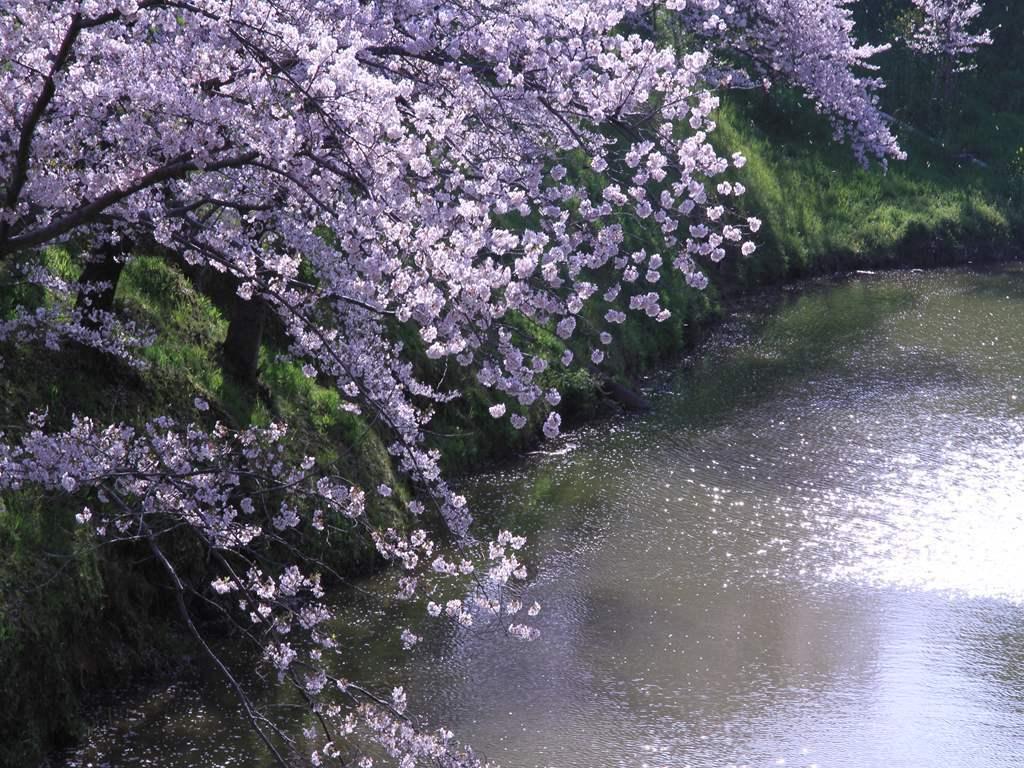 大和郡山城跡のお堀の桜 2012年4月12日   6359