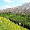 桜と菜の花が咲く土手