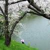 静かな外堀の春(過去写真)