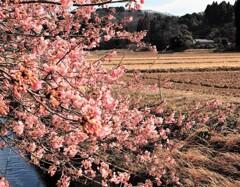 里山の寒桜