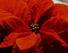 クリスマスの赤