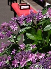 街角の紫陽花