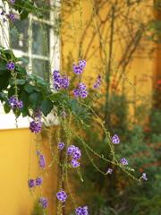 デュランタの咲く窓辺