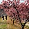 寒桜の咲く土手