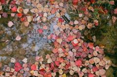 ナンキンハゼ紅葉