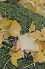 イチョウ葉