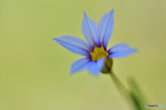 Blue eyed grass その2