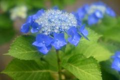雨の額紫陽花1