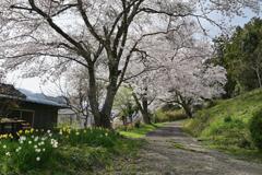 田舎の桜坂