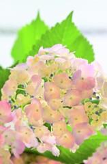 紫陽花ファンタジー2