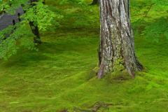 小雨の苔庭