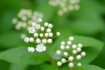 コデマリの開花