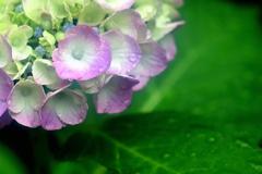 雨の額紫陽花