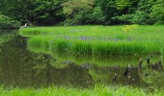静寂の池 カキツバタ
