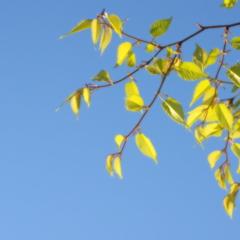 新緑ー黄金の輝きー