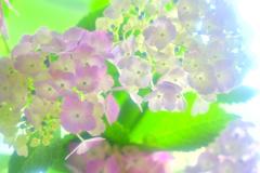 紫陽花ファンタジー1
