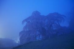 霧中,三春滝桜