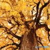 黄色い大木