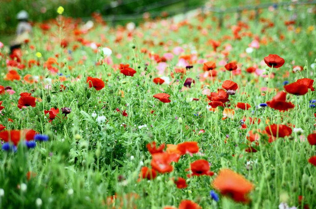 丘の上ひなげしの花が~♪
