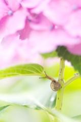 紫陽花×かたつむり