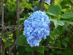 蝦夷の紫陽花
