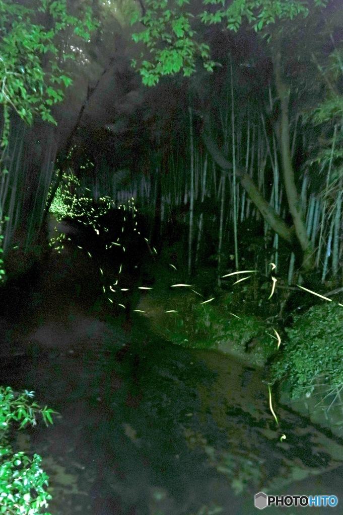 竹林トンネルに舞う蛍