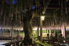 藤まつり・津島天王川公園 5