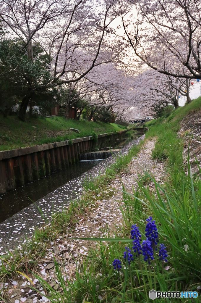 ムスカリと千本桜