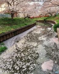 千本桜の花筏