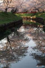 水面に映す千本桜Ⅱ