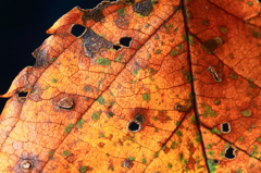 The leaf of autumn