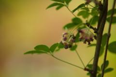 あけびの花Ⅱ
