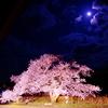 染井吉野の老木