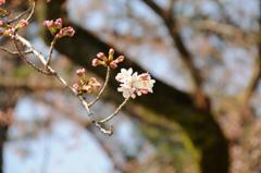 小田原城周辺の桜