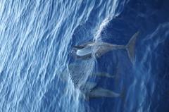 ハシナガイルカの群れ9