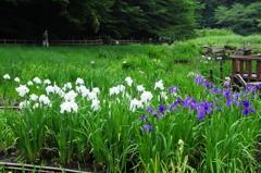 菖蒲 at 泉の森2