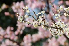 梅~は咲いた~か、桜~はまだかいな