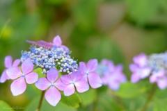 麻溝公園 紫陽花