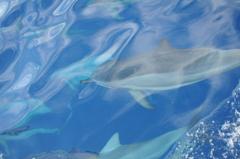 ハシナガイルカの群れ7