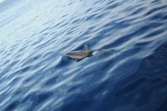 ハシナガイルカの群れ4