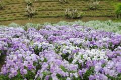 薄紫色のお花
