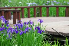 菖蒲 at 泉の森1