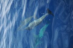 ハシナガイルカの群れ3